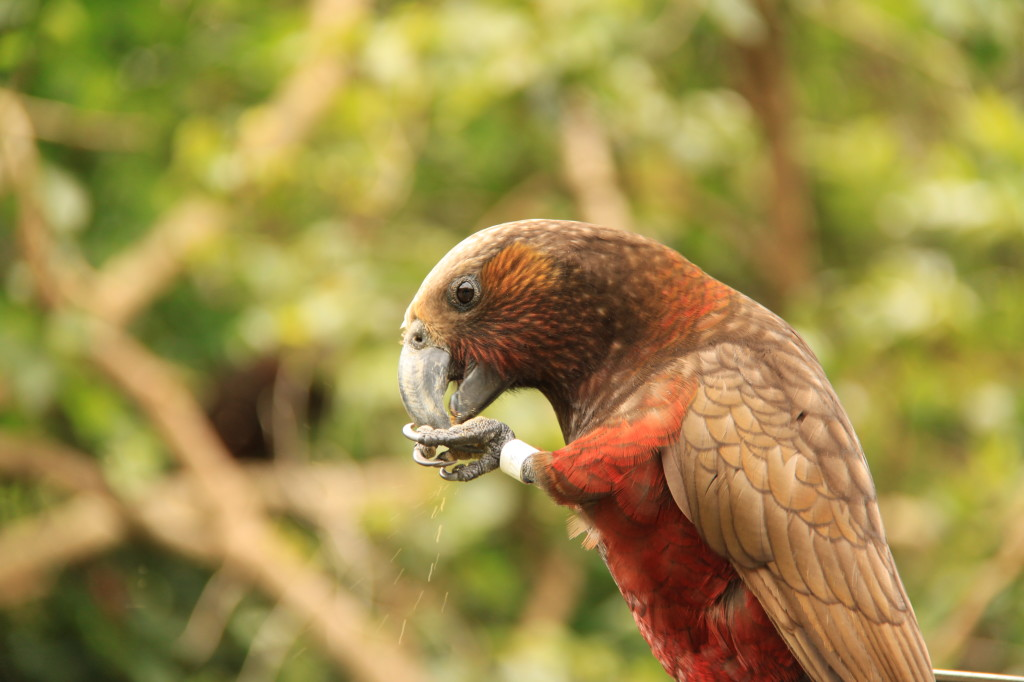 Kaka - New Zealand's native red parrot