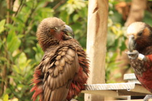 A Kaka (Red Parrot) getting protective of HIS seeds