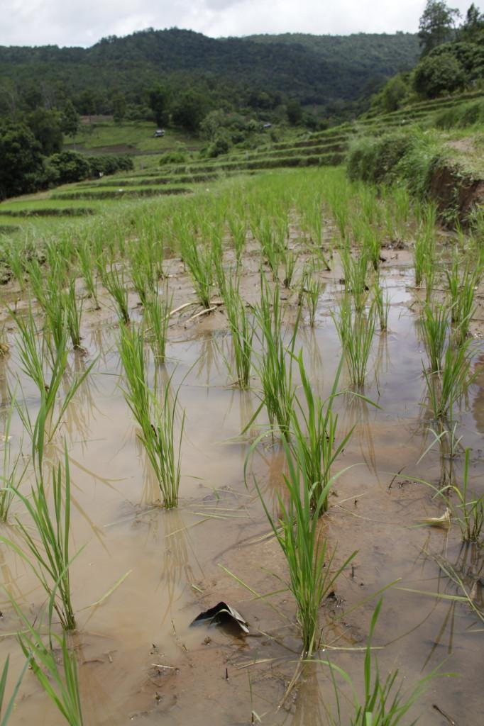Community rice farm