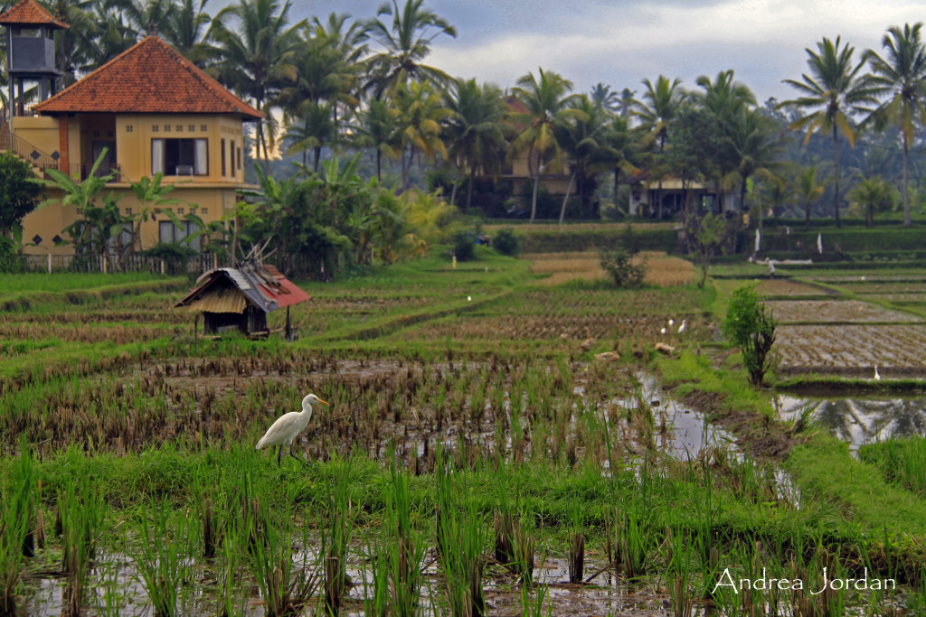 Birds enjoying themselves in a rice field in Bali