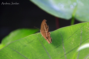 Butterfly - Bali - RiceField MG_7962_edited-1