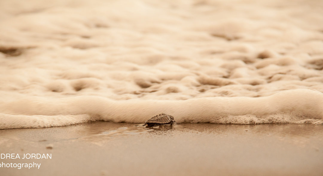 The Three Amigos. A Tale Of A Baby Turtle Release. . .